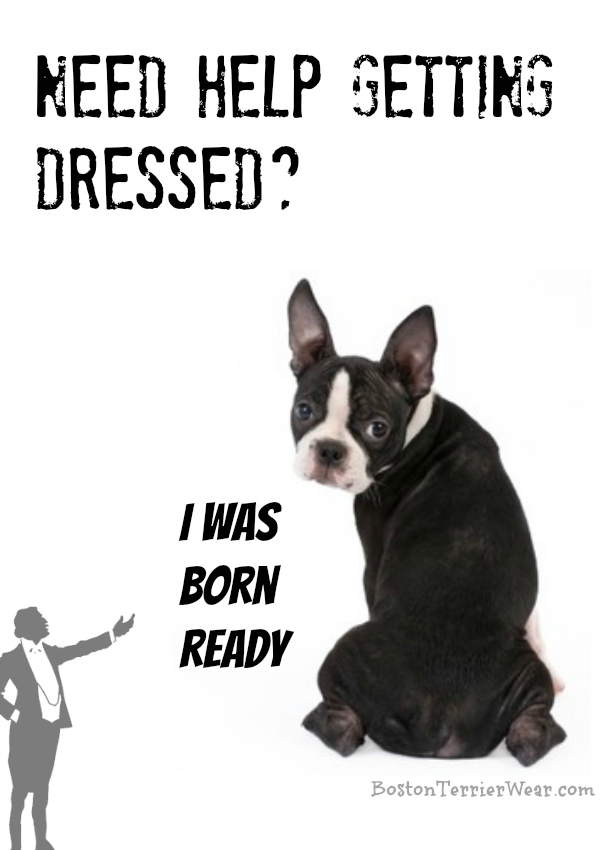 Boston Terriers are Born Dressed Fabulously